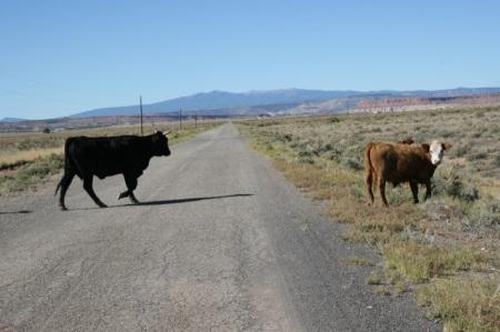 mucche attraversano la strada