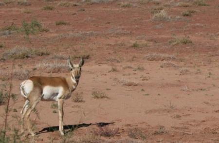 antilope ci guarda incuriosita